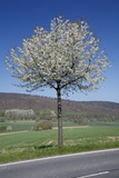 Common Cherry Tree Flowering on Roadside Photographic Print