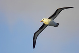 Black-Browed Albatross in Flight Reproduction photographique