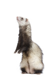 Ferret Sable Colouring on Hind Legs in Studio Photographic Print