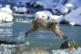 Snow Monkey Jumping across Stream Fotografisk trykk