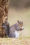Grey Squirrel Feeding at Base of Tree Photographic Print