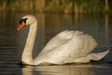 Mute Swan Impressão fotográfica