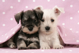 Miniature Schnauzer Puppies (6 Weeks Old) Photographic Print