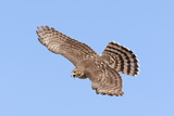 Cooper's Hawk Immature in Flight Photographic Print