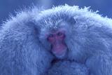 Snow Monkey Huddling for Warmth Fotografisk trykk