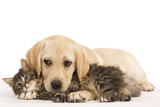 Cat and Dog Labrador Puppy and Norwegian Forest Cat Kitten Fotografisk tryk