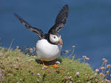 Puffin Lands on Grass Ledge by Sea Reproduction photographique