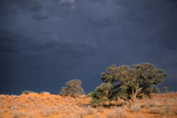 South Africa Thunderstorm, Red Dunes and Camelthorn Photographic Print by Alan J. S. Weaving