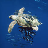 Loggerhead Turtle Juvenile with Pilot Fish Photographic Print
