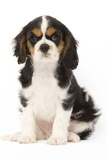 Cavalier King Charles Spaniel Puppy in Studio Photographic Print
