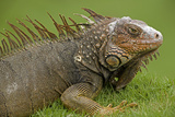 Green Iguana Photographic Print