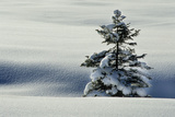 Winter Landscape with Spruce in Snow Photographic Print