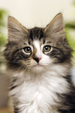 Norwegian Forest Silver and White Mackerel Tabby Cat Photographic Print