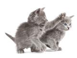 Nebelung Kittens Photographic Print