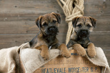 Border Terrier Puppies Sitting in a Box (13 Weeks Old) Photographic Print