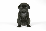 Black Pug Puppy (6 Weeks Old) Fotografická reprodukce