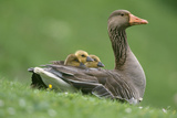 Greylag Goose with Goslings Photographic Print
