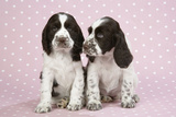 Springer Spaniels Photographic Print