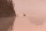 Canada Goose on Calm Misty Water at Sunrise Photographic Print