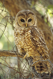 Spotted Owl Inhabits Thickly Wooded Canyons Photographic Print