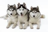 Husky Photographic Print