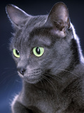 Korat Cat Photographic Print