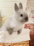 Dwarf Rabbit Papier Photo