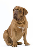 Dogue De Bordeaux Photographic Print