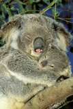 Koala Female and Young in Tree Photographic Print