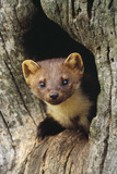 Pine Marten in Hole in Tree Photographic Print