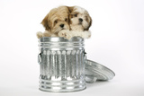 Lhasa Apso and Shih Tzu Puppies in a Dustbin Photographic Print