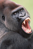 Lowland Gorilla Close-Up of Head, Threatening Display Photographic Print