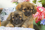 Tibetan Spaniel Two Puppies with Flowers Photographic Print