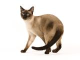 Thai Cat Photographic Print