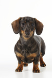 Smooth Haired Minature Dachsund Reproduction photographique