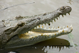 American Crocodile Photographic Print