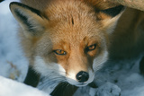 Red Fox Close-Up in the Snow Photographic Print