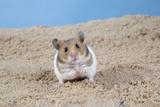 Hamster Digging in Sand Fotografisk tryk