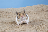 Hamster Digging in Sand Photographic Print