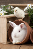 Rabbit and Chick Mini Ivory Satin Rabbit Sitting Photographic Print