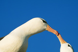 Black-Browed Albatross Touching Beaks in Courtship Photographie