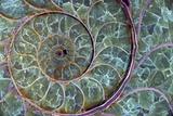 Fossil Ammonite Fotografisk tryk