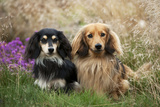 Miniature Long Haired Dachshunds Sitting Together Photographic Print
