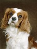 Cavalier King Charles Spaniel Dog Photographic Print