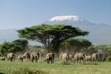 African Elephant Herd Infront of Mt, Kilimanjaro Fotografisk tryk