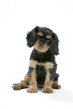 Cavalier King Charles Spaniel Puppy 6-7 Weeks Old Photographic Print