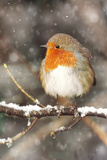 Robin on Snow Covered Branch with Falling Snow Photographic Print