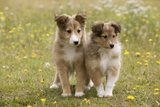 Shetland Sheepdog 8 Week Old Puppies Photographic Print