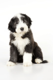Bearded Collie Puppy Sitting Photographic Print