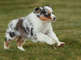 Australian Sheepdog, Shepherd Dog Puppy Photographic Print